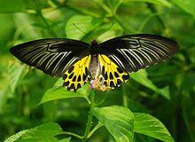 Sưu tập Bộ cánh vẩy 2 - Page 71 220px-Common_Birdwing_%28_%E0%A6%B8%E0%A7%8B%E0%A6%A8%E0%A6%BE%E0%A6%B2%2901