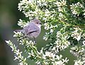 Common Bushtit, Northpoint, San Luis Obispo County, California 1.jpg