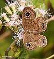 Common Five-ring Ypthima baldus I3 IMG 0759.jpg