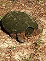 Common Snapping Turtle NC2.jpg