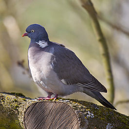 Common Wood Pigeon.jpg