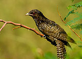 Common koel (female) by N.A. Nazeer.jpg