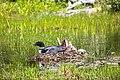 Common loon (27940002612).jpg
