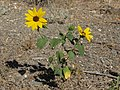 Common sunflower, Helianthus annuusus flowering plant small (16772419685).jpg