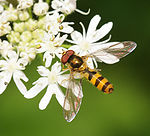 ComputerHotline - Syrphidae sp. (by) (12).jpg