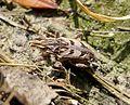 Coniocleonus species - Flickr - gailhampshire (2).jpg