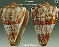 Conus bartschi 1.jpg