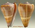 Conus buxeus 1.jpg