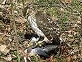 Cooper's Hawk with pigeon.jpg