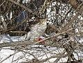 Cooper's hawk feeding on a blue jay 21.jpg