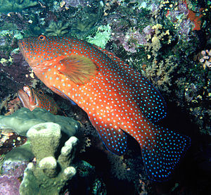 Coral hind - Image: Coral grouper