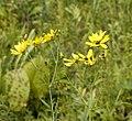 Coreopsis tripteris — Frank Mayfield 005.jpg