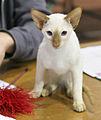 CornFlakes ExtraordinaryGal -SIA o- female kitten EX1.JPG