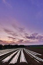 Corn culture (31275801083).jpg