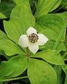 Cornus canadensis 01.JPG