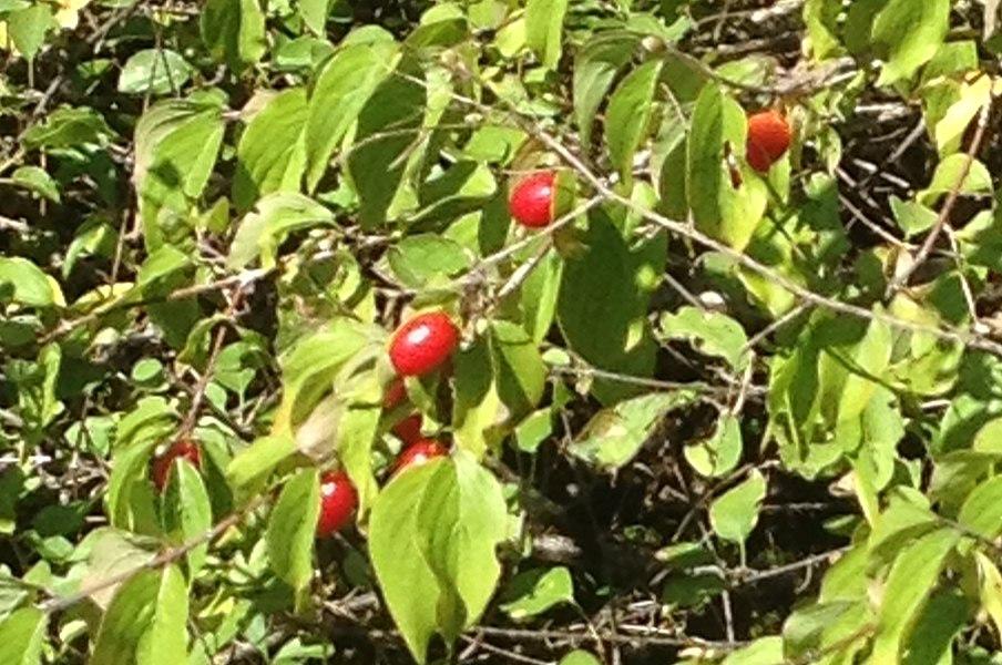Fruit (not mature) of Cornus mas Cornus sp. --> Cornus sanguinea  (Cornouiller sanguin) Second version (26/08/2014) with good image of Cornus mas