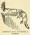 Correct way to hold a ferret.png