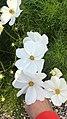 Cosmos bipinnatus white.jpg