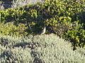 Cossypha caffra (17719885470).jpg