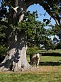 Cow and oak - geograph.org.uk - 559086.jpg
