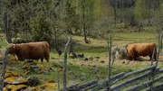File:Cows eating.webm