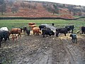 Cows young and old - geograph.org.uk - 1745396.jpg