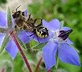 Crab Spider, Synema globosum with Bee on Borage - Flickr - gailhampshire.jpg