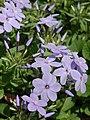 Creeping Phlox Phlox stolonifera Flowers 3008px (3x4).jpg