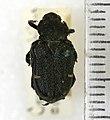 Cremastocheilus canaliculatus (Kirby, 1827) - 5393141140.jpg