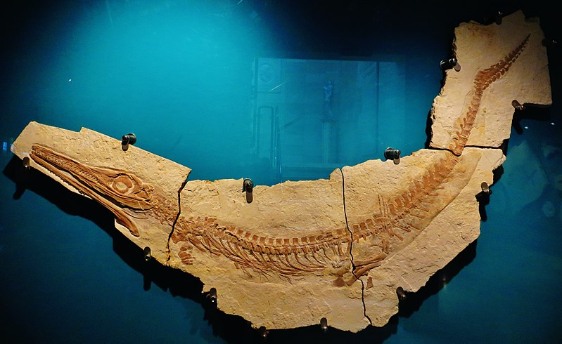 File:Cricosaurus suevicus 6743.jpg