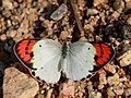 Crimson tip Female from Manchanbele dam IMG 2370.jpg