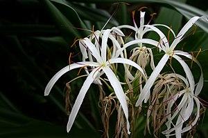 Crinum asiaticum - Image: Crinum Lily