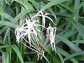 Crinum purpurascens0.jpg