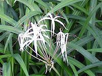 Crinum purpurascens0