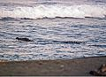 Crocodylus porosus foraging in surf at Maconacon - ZooKeys-266-001-g104-bottom.jpg