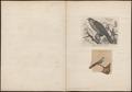Cuculus canorus - - Print - Iconographia Zoologica - Special Collections University of Amsterdam - UBA01 IZ18800218.tif