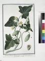 Cucumis silvestris Asininus dictus - Cocomero Salvatico - Cocombre Sauvage (NYPL b14444147-1124992).tiff