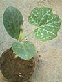 Cucurbita seedling.jpg