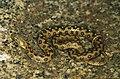 Culebra viperina 1. M. FOTO-ARDEIDAS.jpg