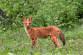 Cuon alpinus asiatic wild dog.jpg