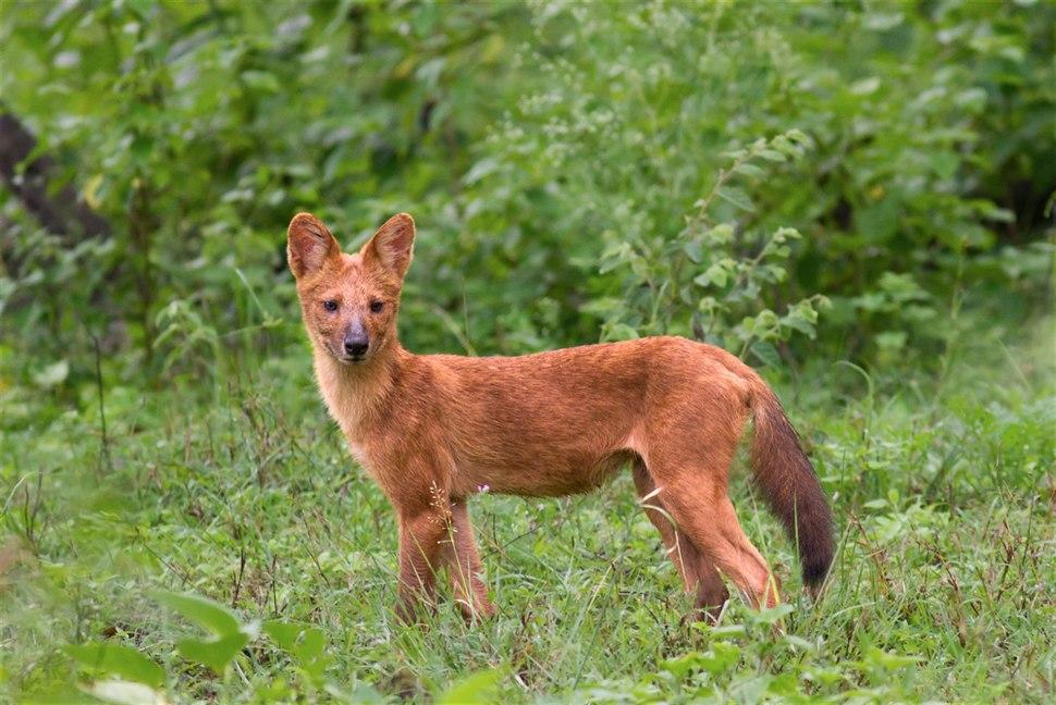 Cuon alpinus asiatic wild dog