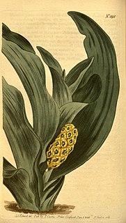 <i>Rohdea</i> genus of plants