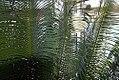 Cycas circinalis 15zz.jpg