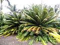 Cycas circinalis kz4.JPG