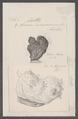 Cynthia microcosmus - - Print - Iconographia Zoologica - Special Collections University of Amsterdam - UBAINV0274 092 01 0037.tif