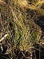 Cyperus laevigatus habit.jpg