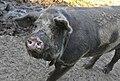 Dänisches Sortbroget Schwein (8).jpg