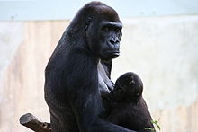 mother gorilla, facing right, holding infant gorilla in lap