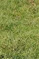 Dactylis glomerata, Commanster, Belgium 1.jpg