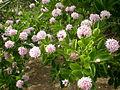 Dais cotinifolia 2c.JPG